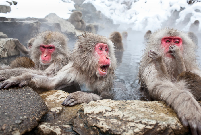 Japanese Macaque Snow Monkeys bathing in hot springs