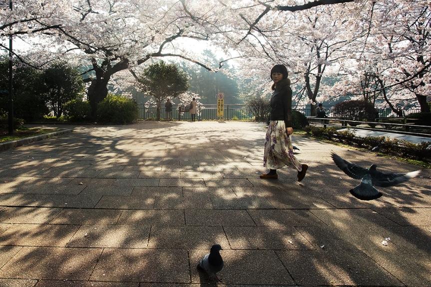Sakura, cherry blossom season in Tokyo